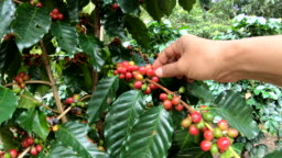 Picking coffee bean on tree slow motion