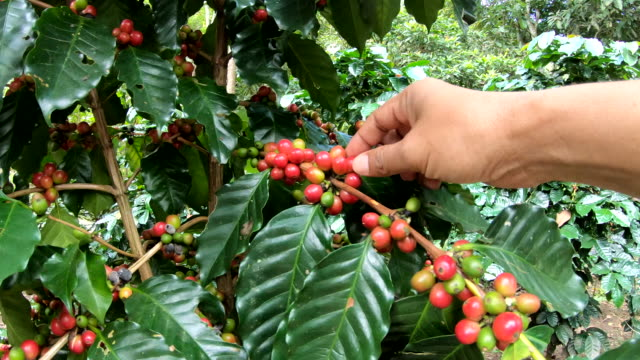 picking coffee bean on tree slow motion - bean stock videos & royalty-free footage