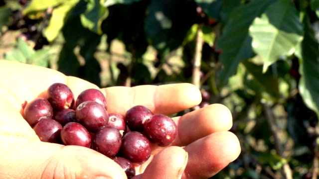 picking coffee bean slow motion - picking stock videos & royalty-free footage