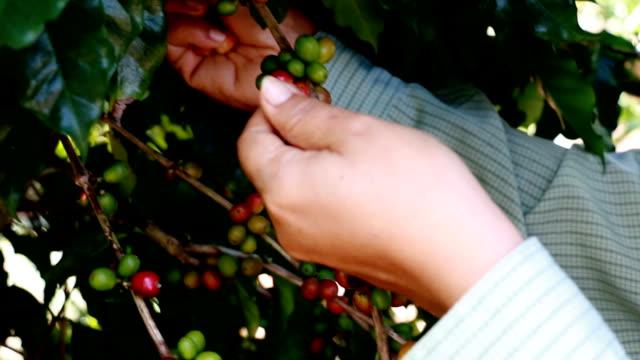 vídeos y material grabado en eventos de stock de retiro granos de café - escoger