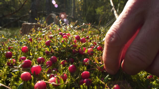 picking cranberries - collection stock videos & royalty-free footage