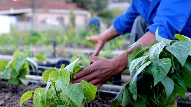 picking fresh vegetables - community garden stock videos & royalty-free footage