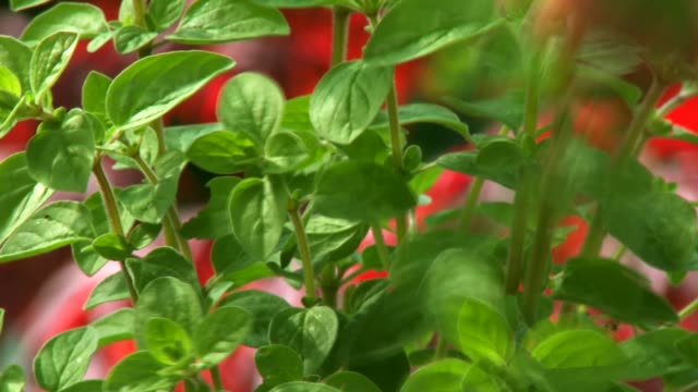 picking herbs - basil stock videos and b-roll footage