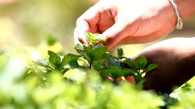 picking kitchen mint - mint leaf culinary stock videos and b-roll footage