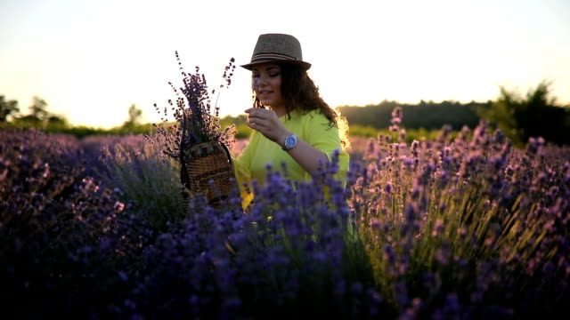 picking lavender in sunset - picking harvesting stock videos & royalty-free footage