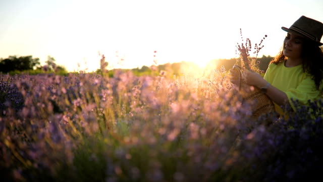 picking lavender in sunset - lavender stock videos & royalty-free footage