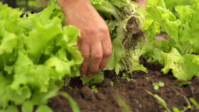 picking lettuce - vegetable stock videos & royalty-free footage
