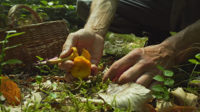 picking mushrooms chanterelles  in the forest - chanterelle stock videos & royalty-free footage