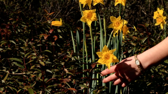 picking narcissus in a field - paperwhite narcissus stock videos & royalty-free footage
