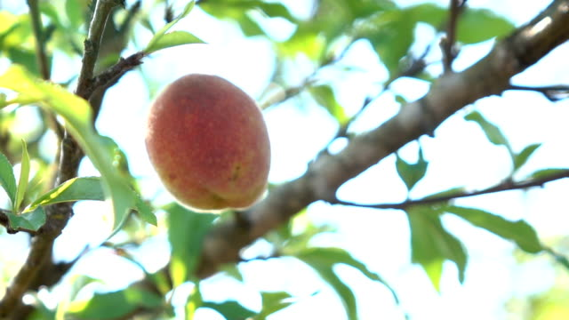picking peach slow motion - peach stock videos & royalty-free footage