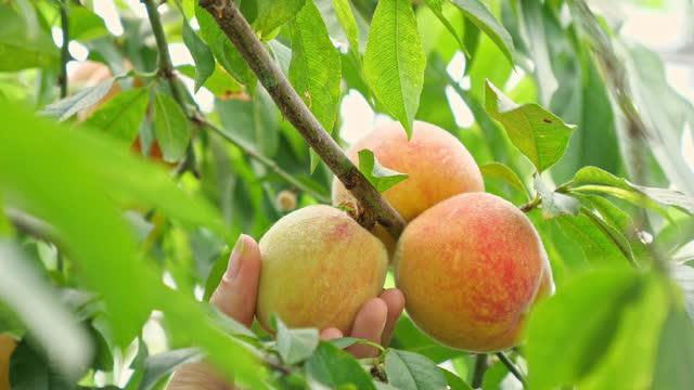 桃を摘む - 手と桃のクローズアップ - モモ点の映像素材/bロール