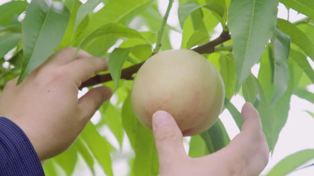 picking peaches off a tree / uiseong-gun, gyeongsangbuk-do, south korea / south korea - peach stock videos & royalty-free footage
