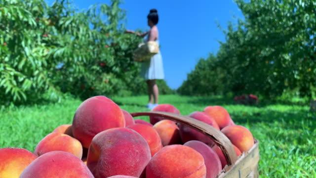 vídeos y material grabado en eventos de stock de picking peaches - huerta
