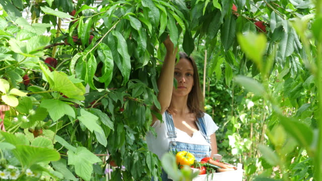 picking peaches -young woman and peaches - orchard stock videos & royalty-free footage