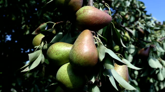 picking pear from tree - fruit tree stock videos & royalty-free footage