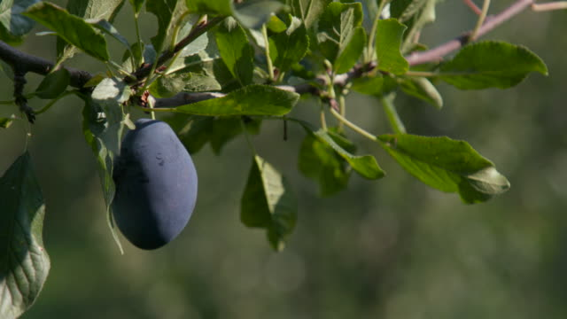 picking plum from tree in the orchard - scegliere video stock e b–roll