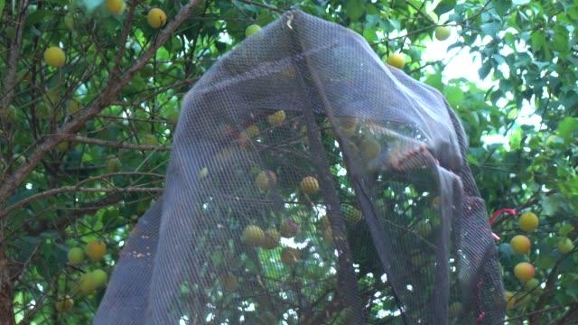 vídeos y material grabado en eventos de stock de cosecha de ciruela en árbol - árbol de hoja caduca