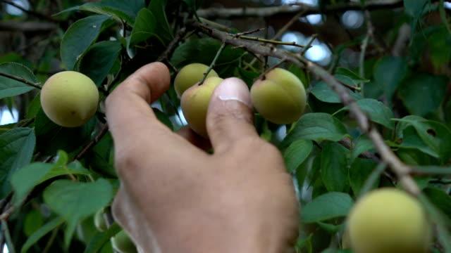 vídeos de stock e filmes b-roll de picking plum slow motion - coleção