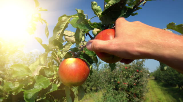 picking red apples on orchard - apple orchard stock videos & royalty-free footage