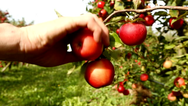 Picking Red Apples on Orchard