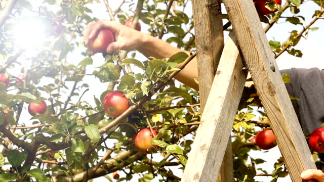 picking red apples on orchard - picking harvesting stock videos and b-roll footage