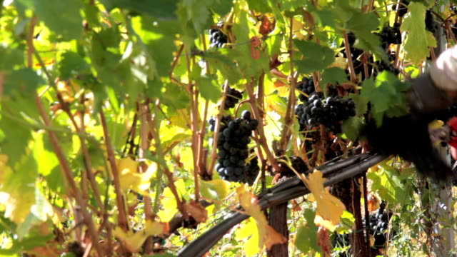 hd: picking red grape in the vineyard - vineyard stock videos & royalty-free footage