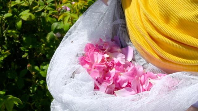 picking roses, close-up