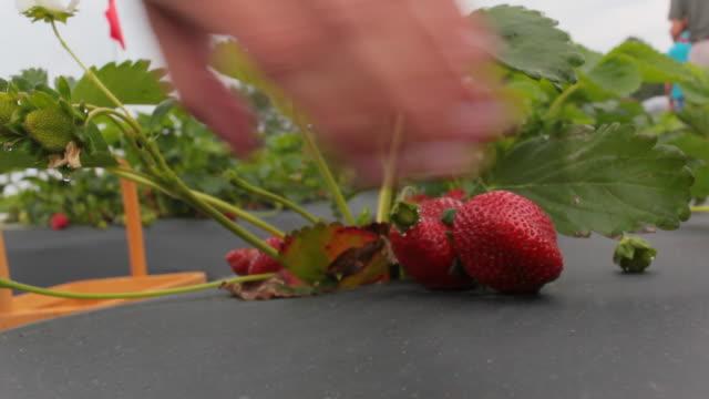 vídeos de stock, filmes e b-roll de colheita de morango - alta magnificação