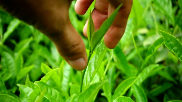 picking tea leaf - picking harvesting stock videos & royalty-free footage