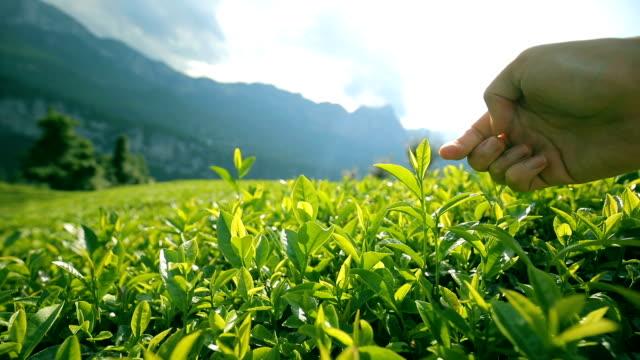 vidéos et rushes de cueillette de feuilles de thé - cueillir