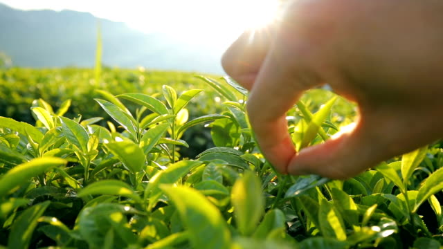 picking tea leaves - plantation stock videos & royalty-free footage
