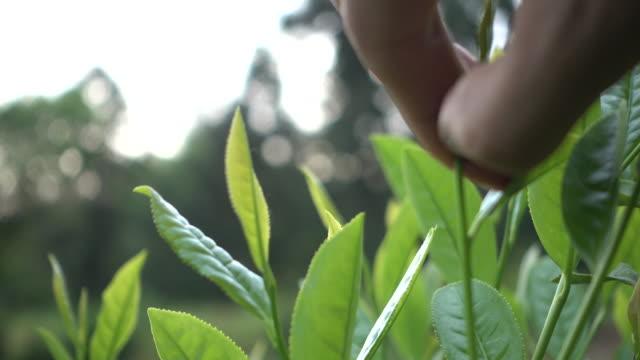 vídeos de stock, filmes e b-roll de colheita das folhas de chá - pegando frutos