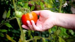 Picking Tomato