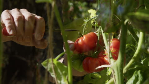 picking tomatoes greenhouse - producer stock videos & royalty-free footage