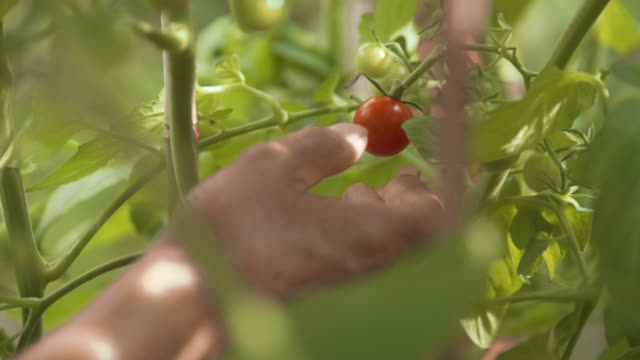 picking tomatoes - picking harvesting stock videos & royalty-free footage