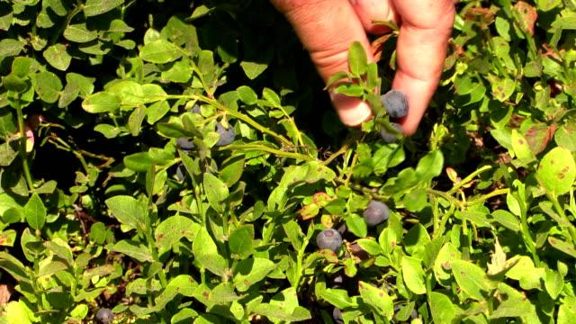 picking up blueberries - picking stock videos & royalty-free footage