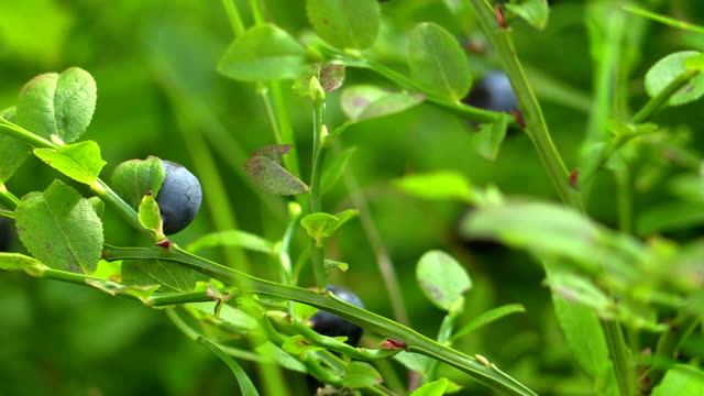 picking up blueberries - blueberry stock videos & royalty-free footage