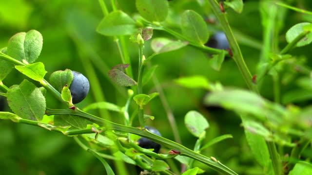 Picking up blueberries