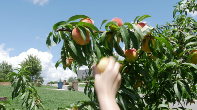 Picking up home grown peaches in Georgia, USA (NO AUDIO)