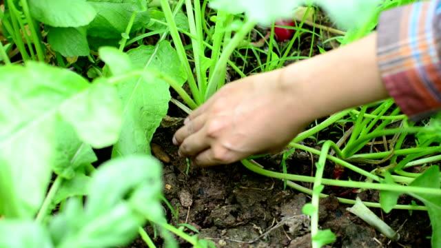 Apanhar Frutos de hortícolas