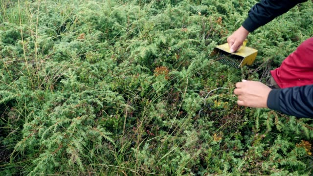 picking wild blueberries in mountain. - blueberry stock videos & royalty-free footage