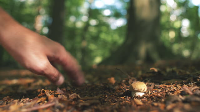 picking wild mushrooms in forest - picking mushrooms stock videos and b-roll footage