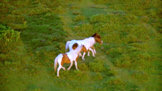 aerial 2 piebald ponies + foal eat + run in countryside / new forest, hampshire, england - erbivoro video stock e b–roll