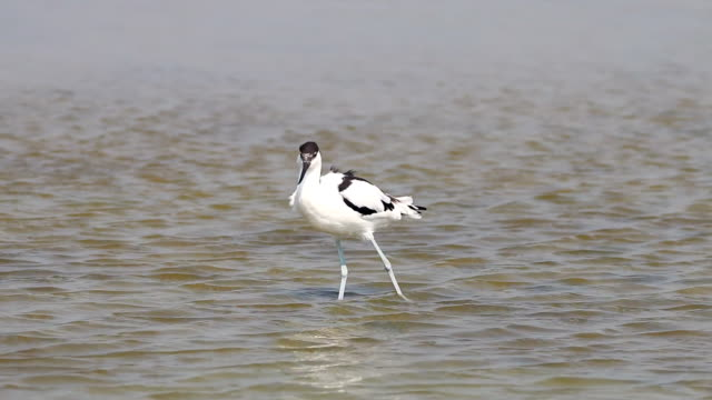 vidéos et rushes de pied avocet recurvirostra avosetta beautiful birds of thailand - bouche des animaux