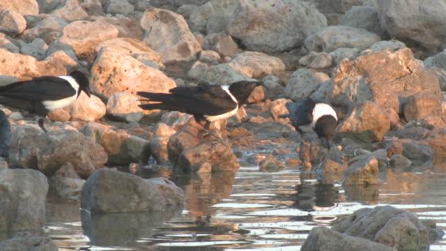 pied crow (corvus albus) drinking at waterhole, etosha national park, namibia - elster stock-videos und b-roll-filmmaterial