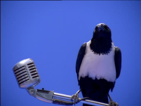 Pied crow perching on microphone stand looking around