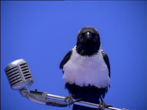 Pied crow perching on microphone stand ruffles its feathers
