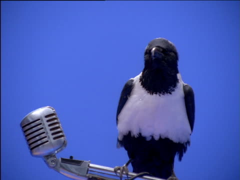 Pied crow perching on microphone stand
