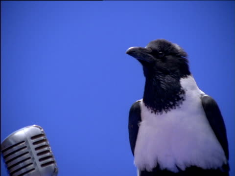 Pied crow with ruffled feathers perches on microphone stand
