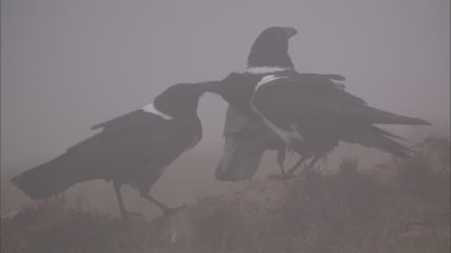 vidéos et rushes de pied crows (corvus albus) on misty hillside at dawn, madagascar - petit groupe d'animaux